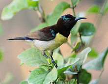 Purple-rumped Sunbird svg #19, Download drawings