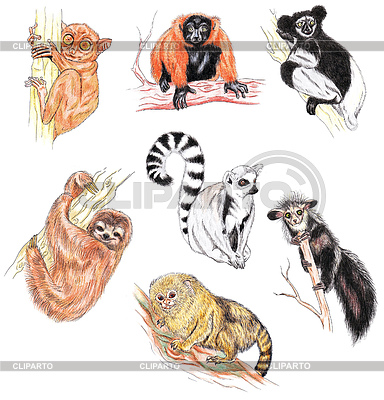 Pygmy Marmoset clipart #20, Download drawings
