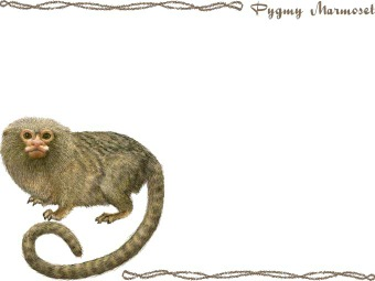 Pygmy Marmoset clipart #10, Download drawings