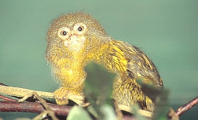 Pygmy Marmoset clipart #12, Download drawings