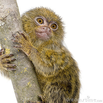 Pygmy Marmoset clipart #1, Download drawings