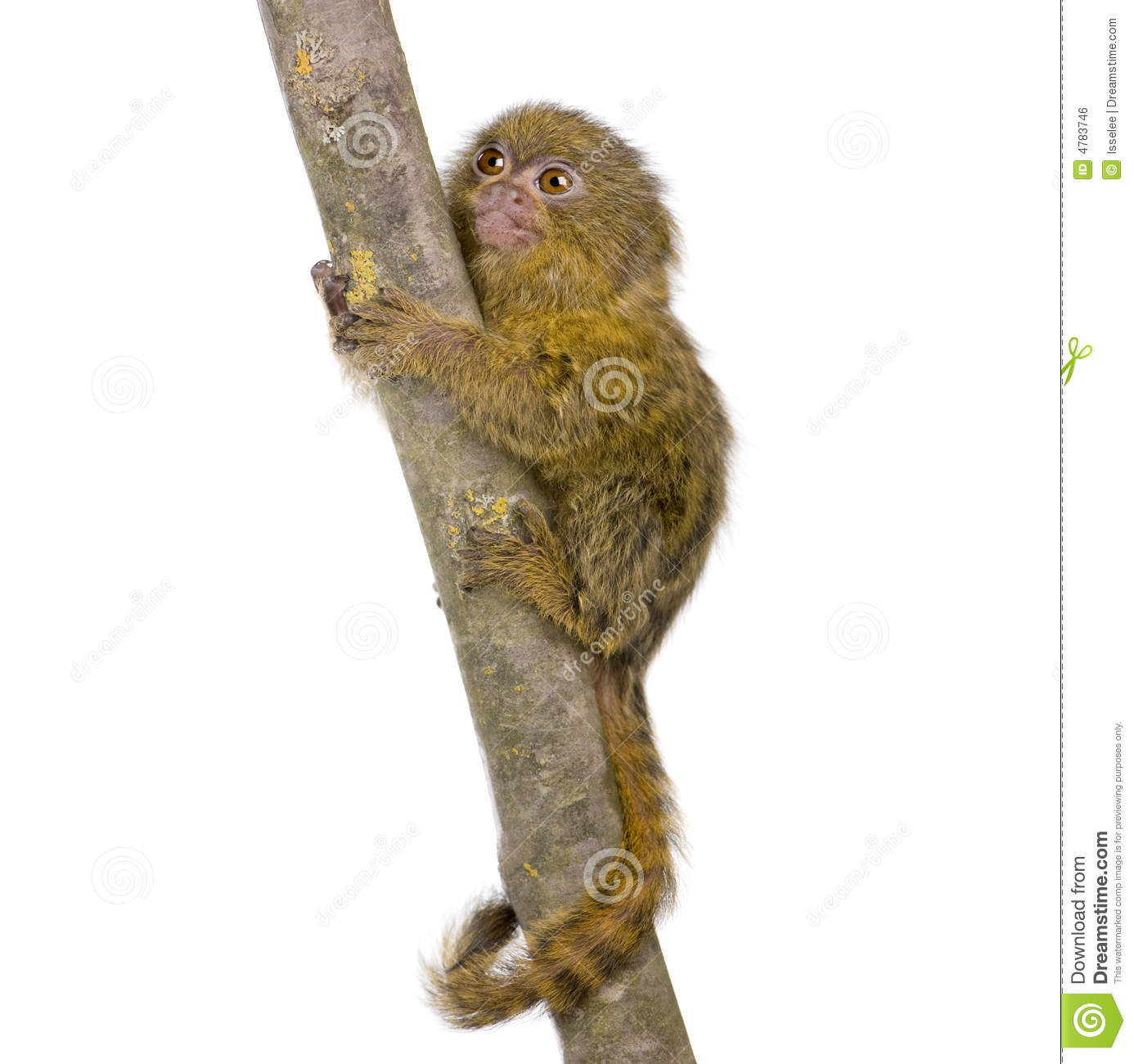 Pygmy Marmoset clipart #2, Download drawings