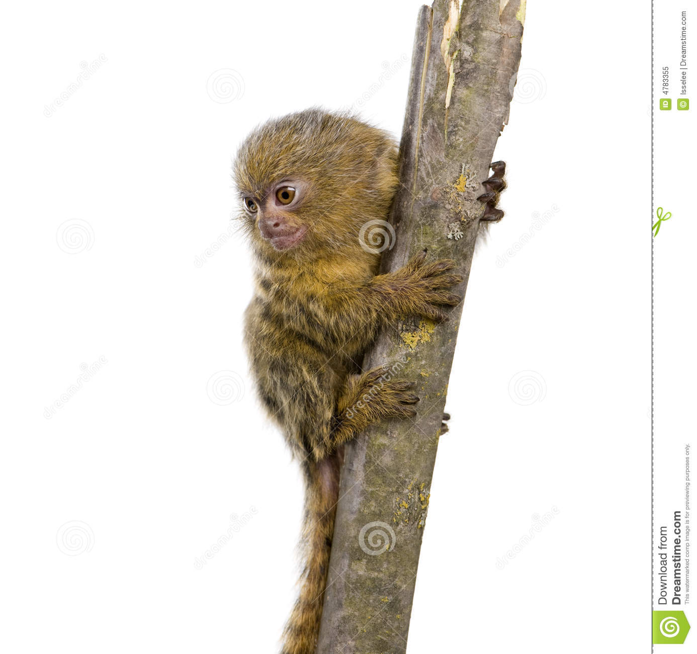 Pygmy Marmoset clipart #6, Download drawings