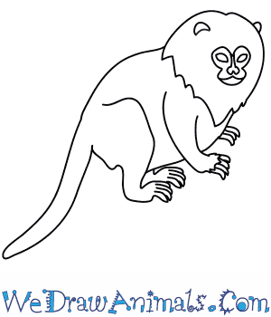 pygmy marmoset coloring pages - photo#5