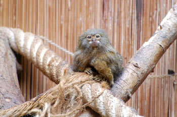 Pygmy Marmoset svg #2, Download drawings
