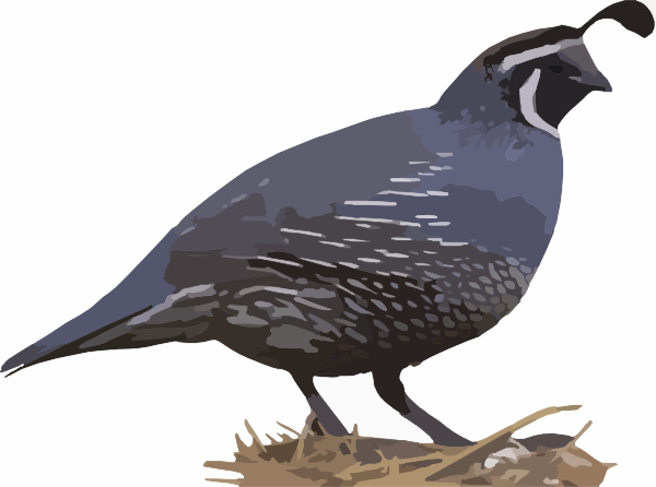 Quail clipart #9, Download drawings