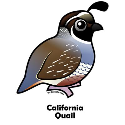 Quail clipart #3, Download drawings