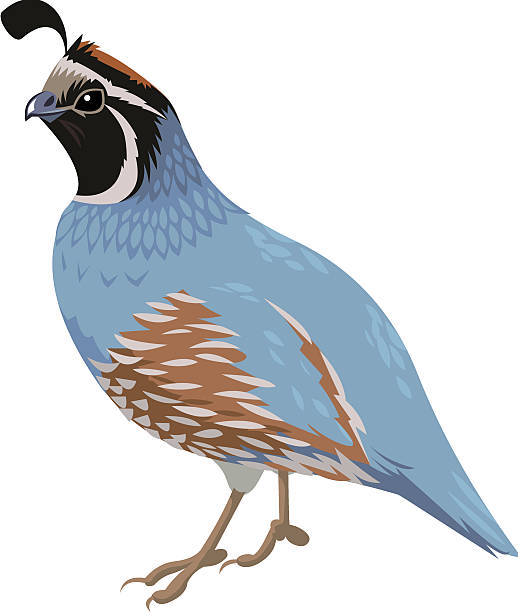 Quail clipart #4, Download drawings