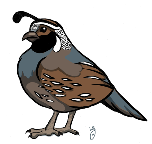 Quail clipart #8, Download drawings