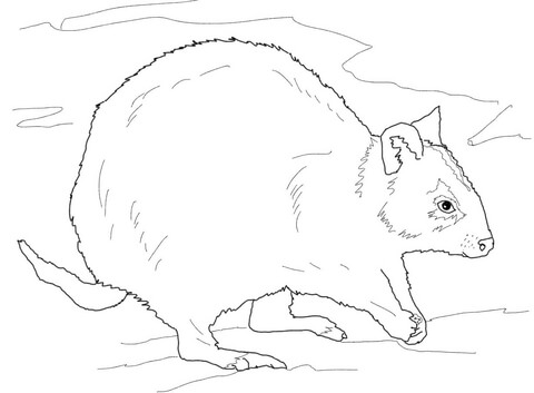 Quokka coloring #3, Download drawings