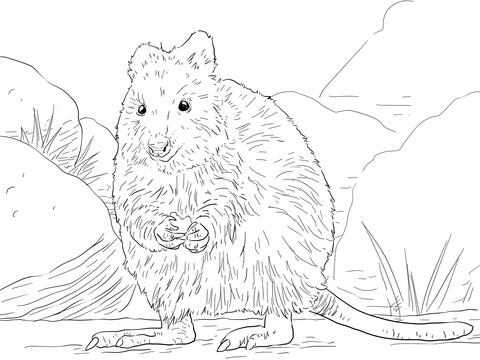 Quokka coloring #11, Download drawings