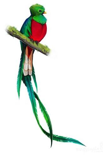 The Quetzal Of Guatamala clipart #2, Download drawings