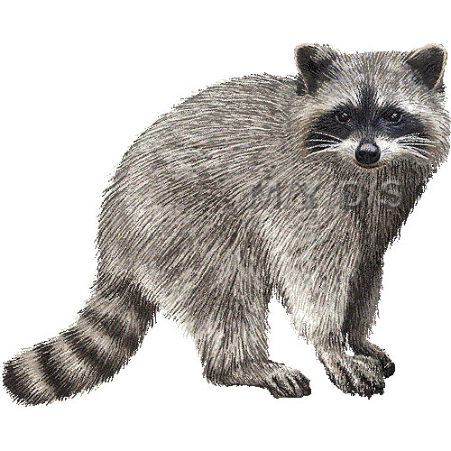 Racoon clipart #18, Download drawings