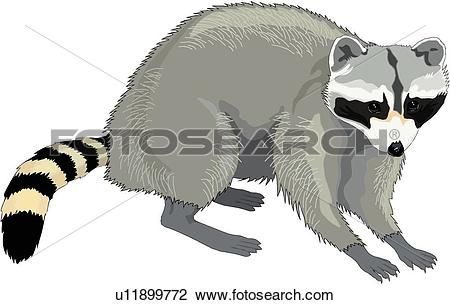 Racoon clipart #13, Download drawings