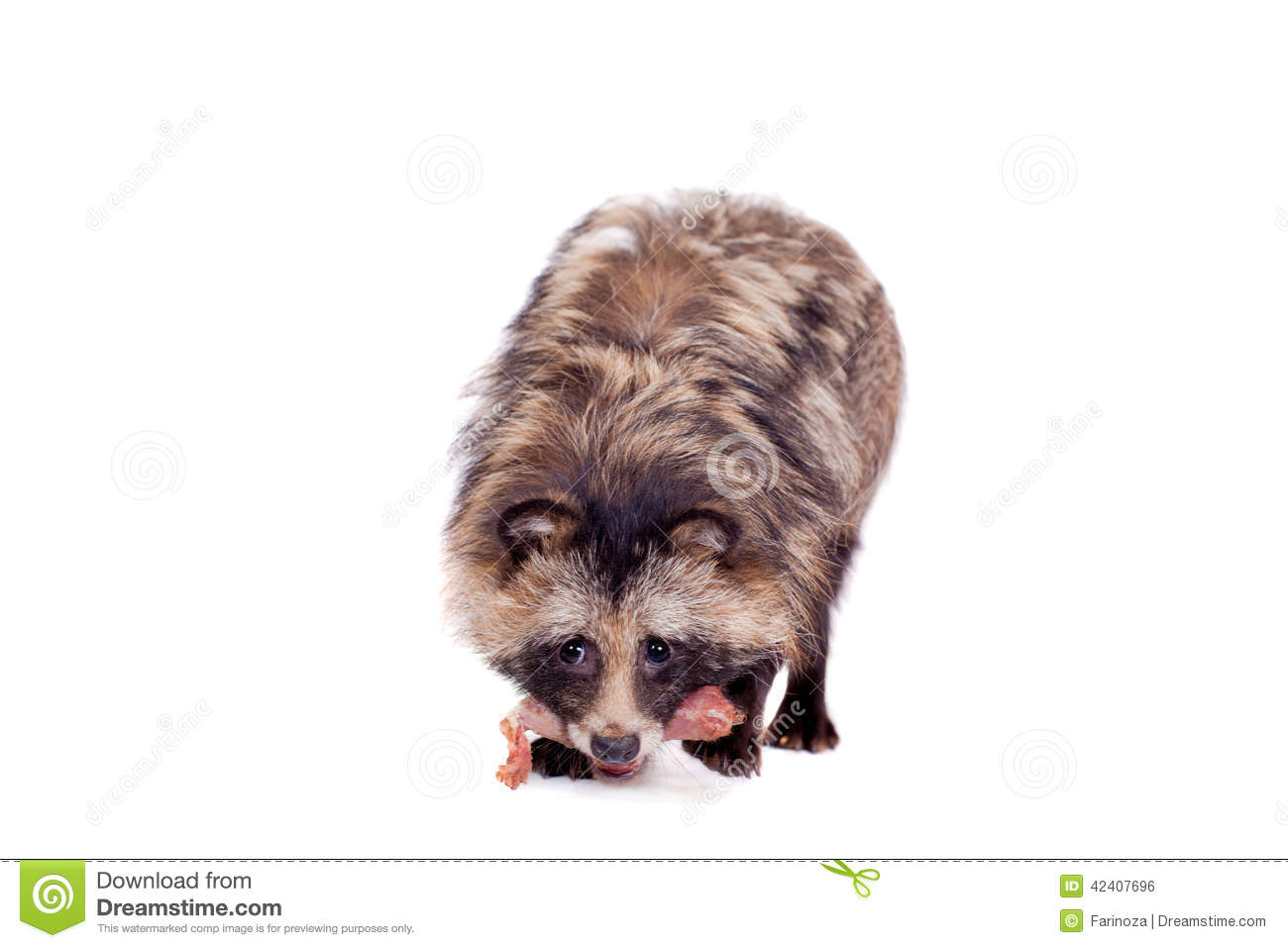 Raccoon Dog clipart #1, Download drawings
