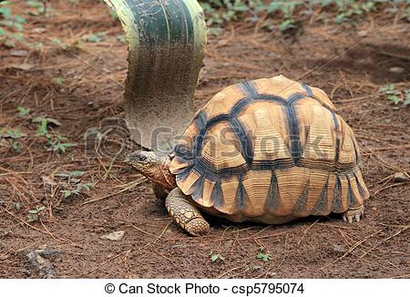 Radiated Tortoise clipart #2, Download drawings