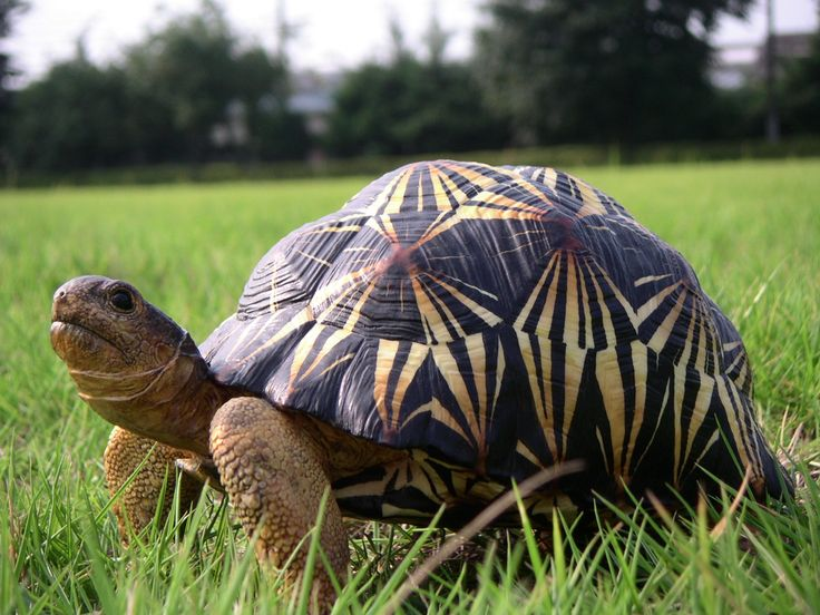 Radiated Tortoise clipart #16, Download drawings