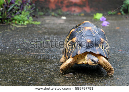 Radiated Tortoise clipart #11, Download drawings