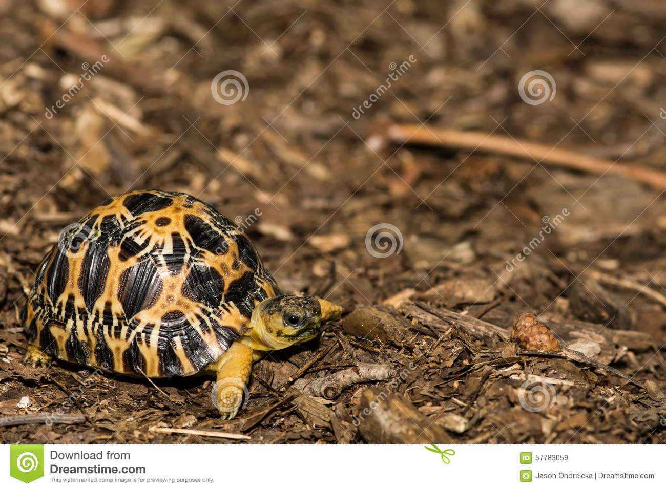 Radiated Tortoise clipart #14, Download drawings