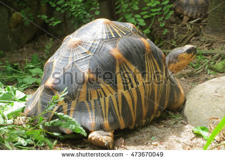 Radiated Tortoise clipart #13, Download drawings