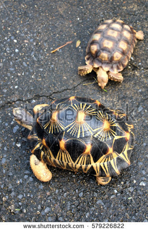 Radiated Tortoise clipart #15, Download drawings