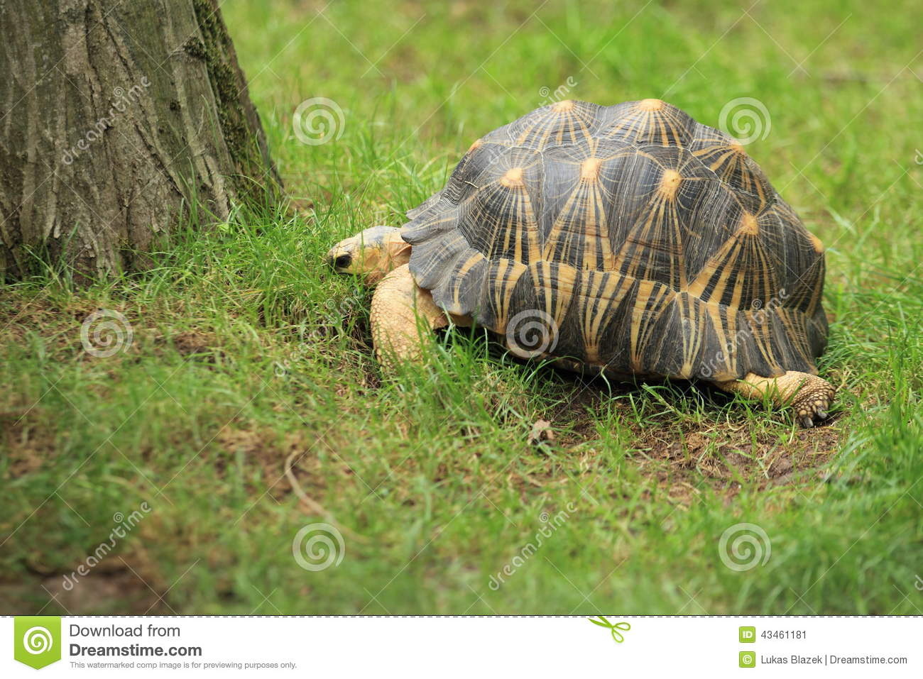 Radiated Tortoise clipart #1, Download drawings