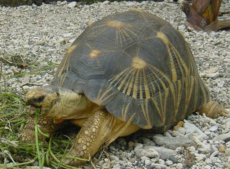 Radiated Tortoise clipart #17, Download drawings