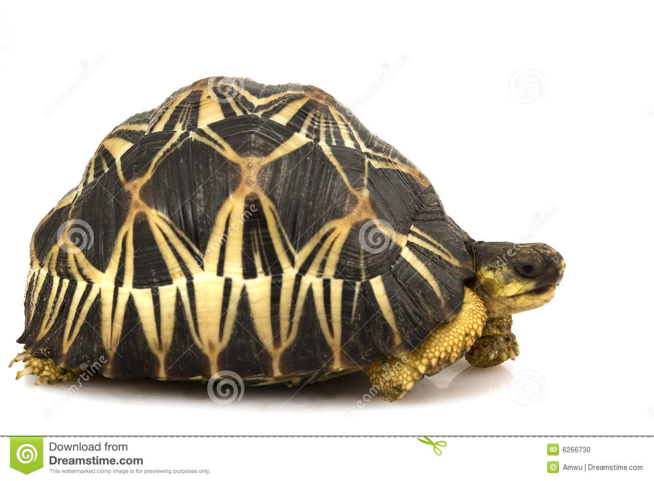 Radiated Tortoise clipart #4, Download drawings