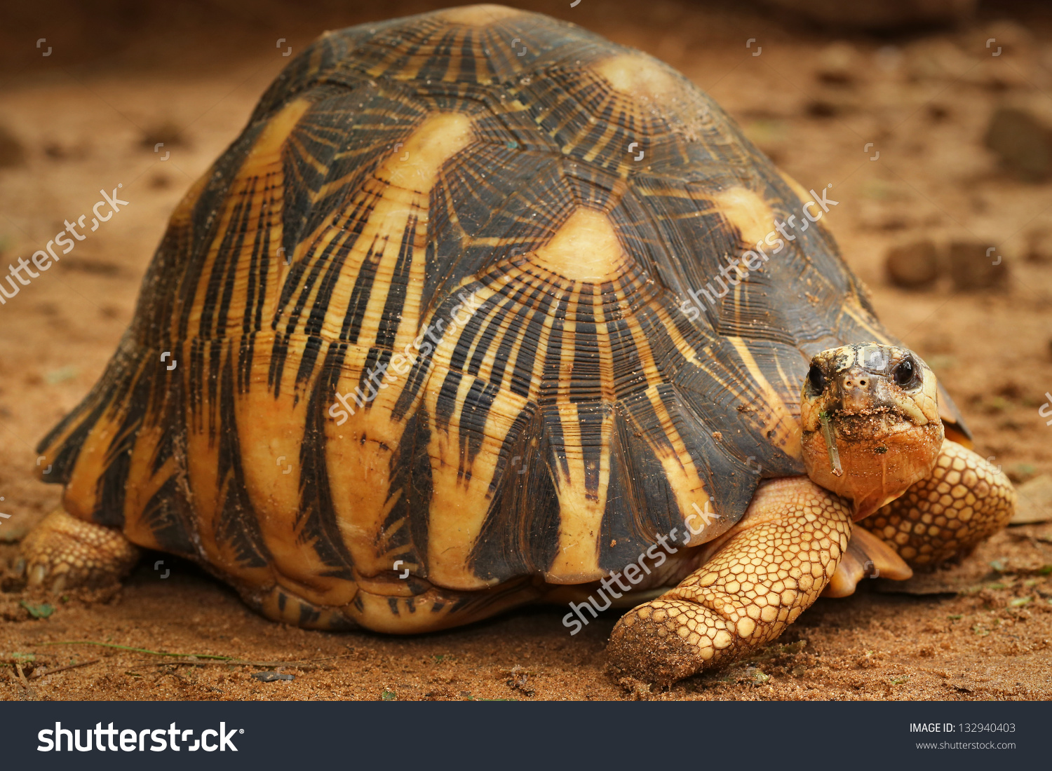 Radiated Tortoise clipart #9, Download drawings
