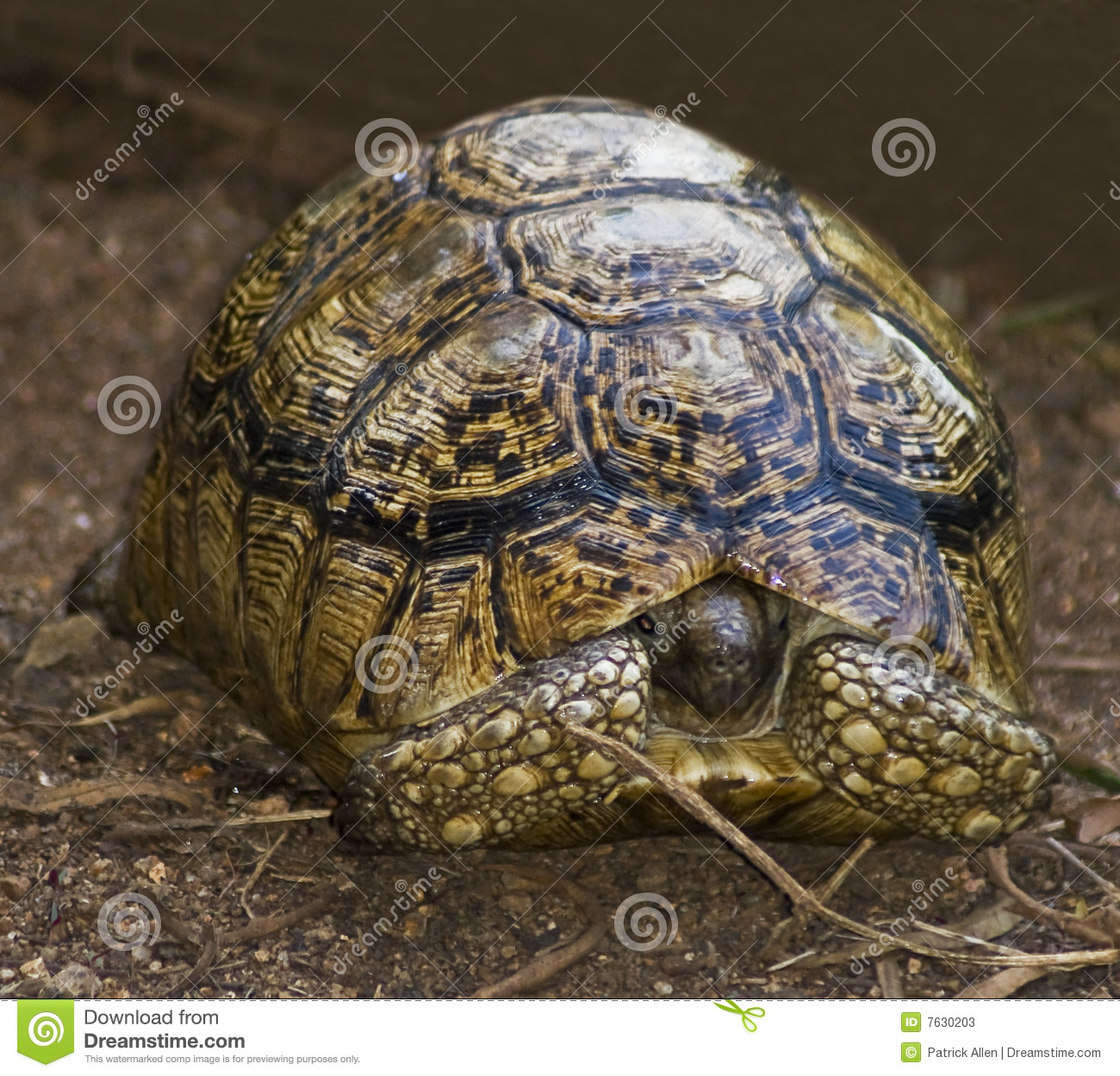 Radiated Tortoise clipart #5, Download drawings