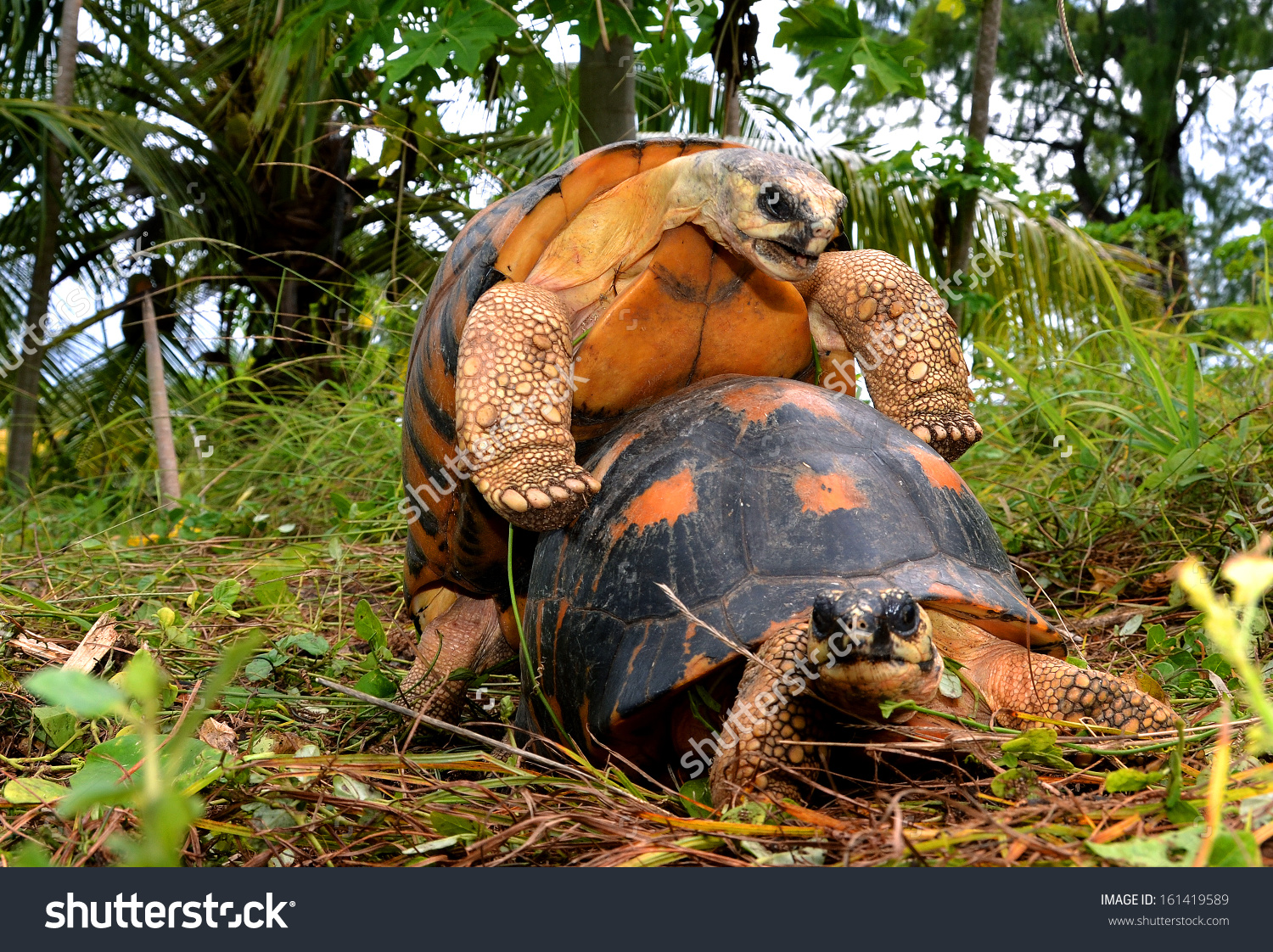 Radiated Tortoise clipart #12, Download drawings
