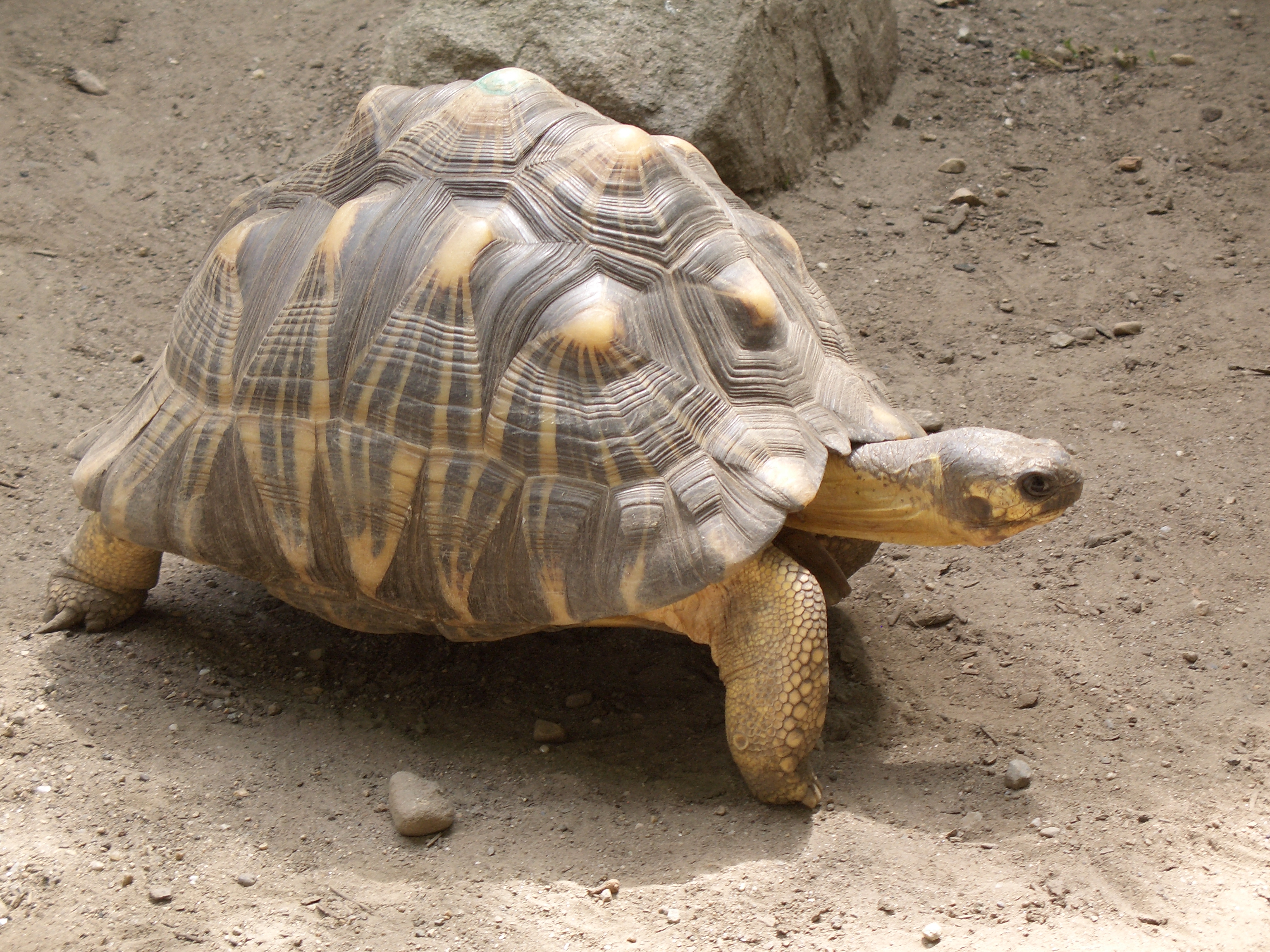 Radiated Tortoise svg #14, Download drawings