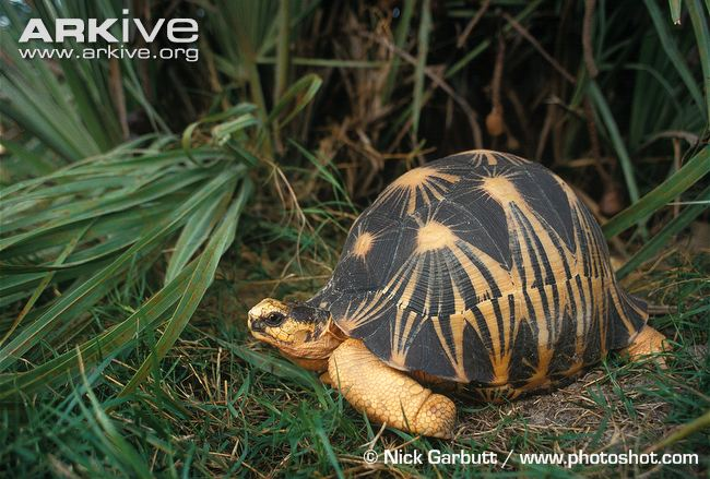 Radiated Tortoise svg #2, Download drawings