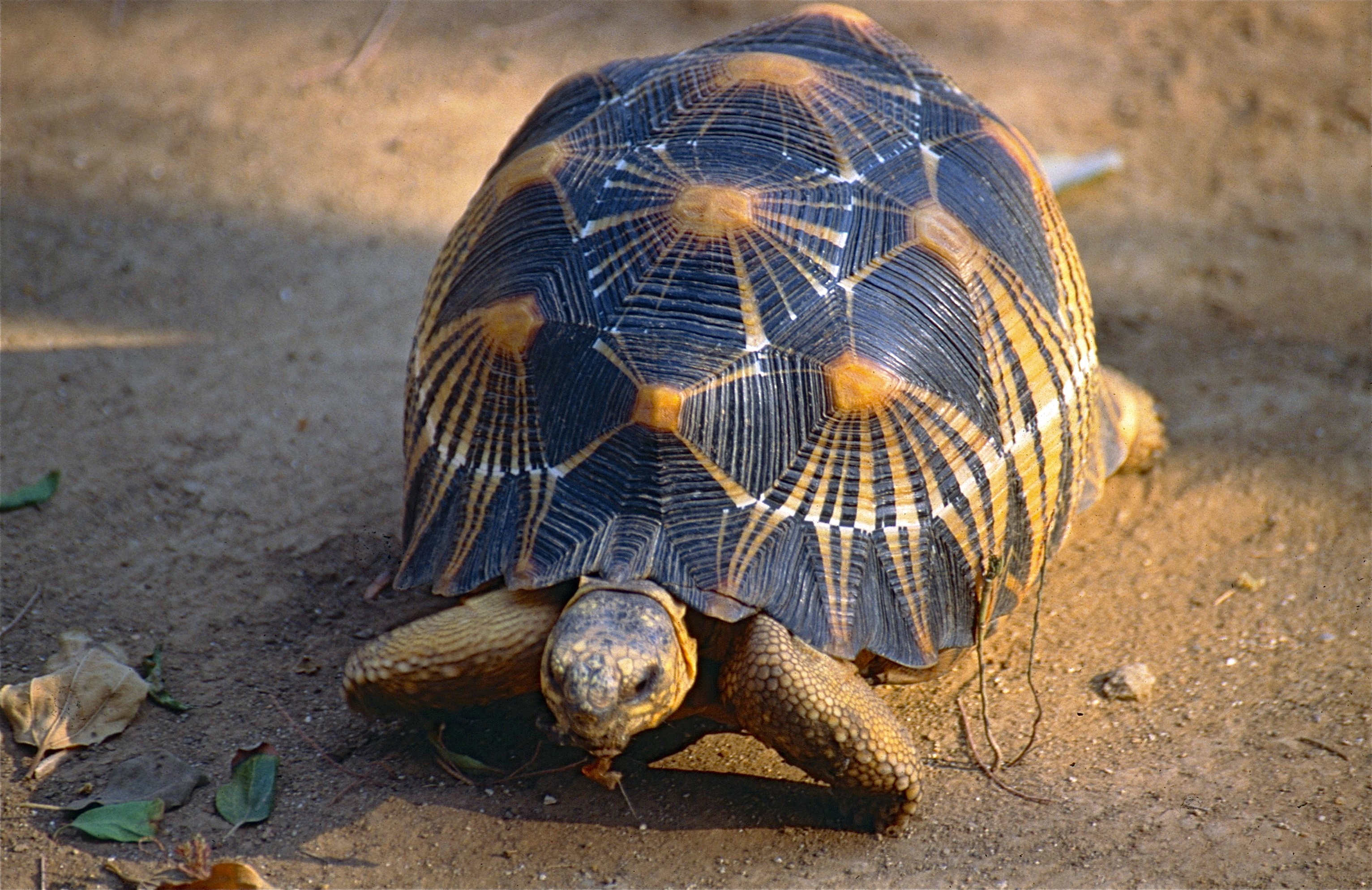 Radiated Tortoise svg #12, Download drawings