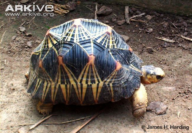 Radiated Tortoise svg #5, Download drawings