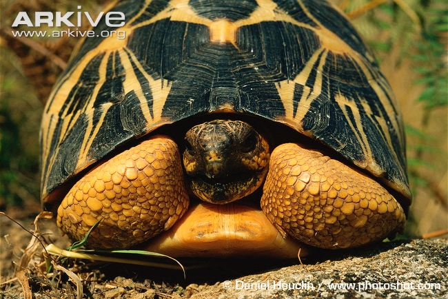 Radiated Tortoise svg #6, Download drawings
