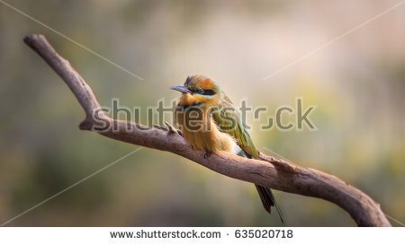 Rainbow Bee-eater clipart #6, Download drawings