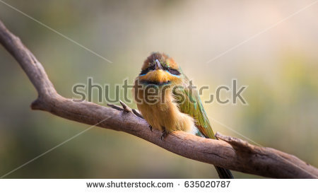 Rainbow Bee-eater clipart #8, Download drawings