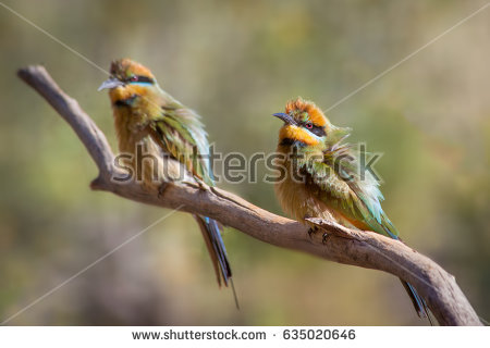 Rainbow Bee-eater clipart #4, Download drawings