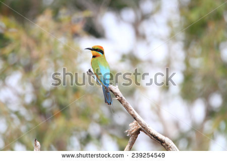 Rainbow Bee-eater clipart #5, Download drawings
