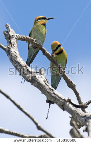 Rainbow Bee-eater clipart #3, Download drawings