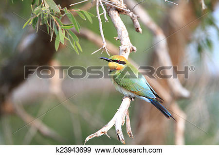 Rainbow Bee-eater clipart #13, Download drawings