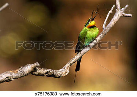 Rainbow Bee-eater clipart #14, Download drawings
