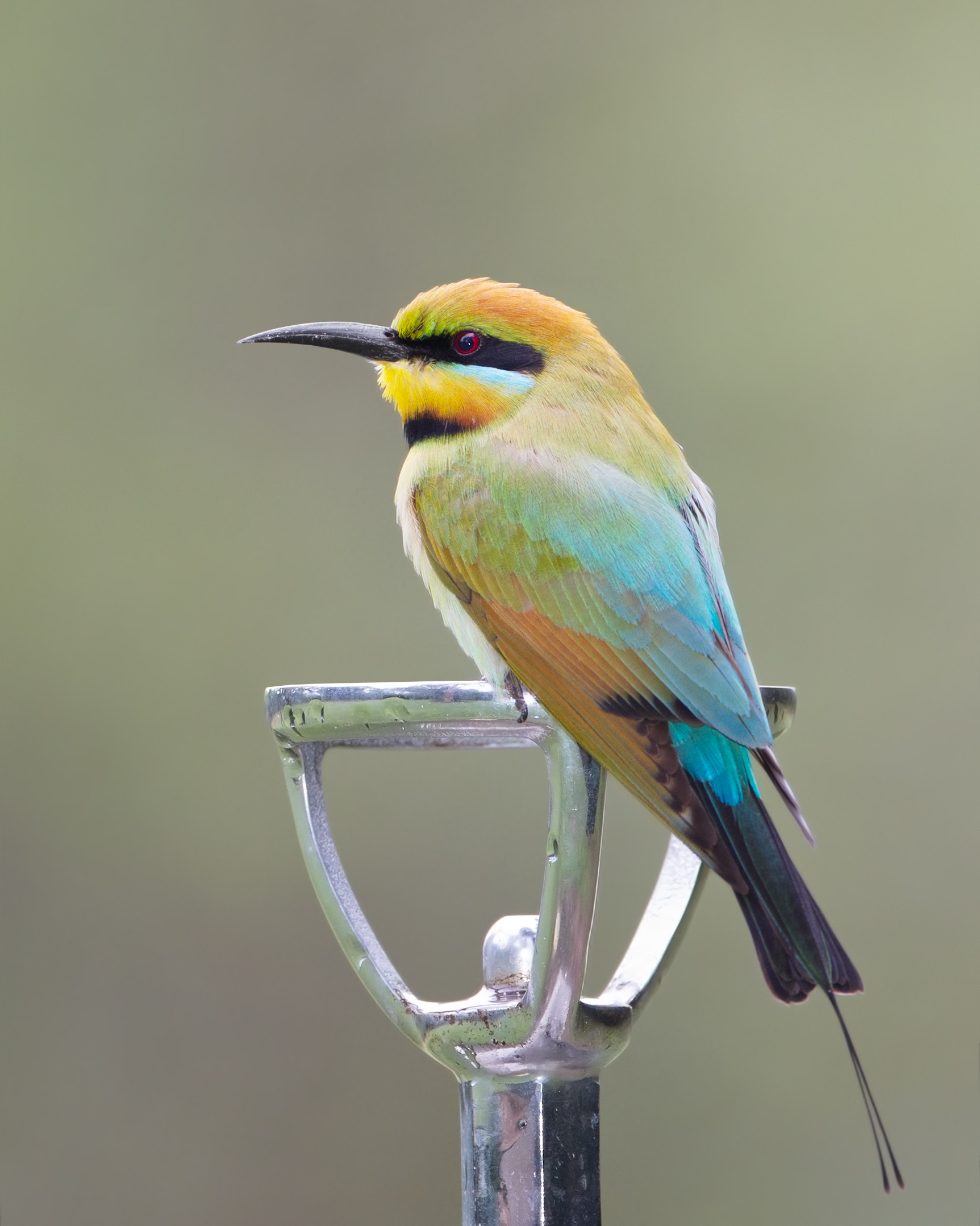Rainbow Bee-eater svg #19, Download drawings