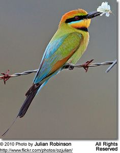 Rainbow Bee-eater svg #9, Download drawings