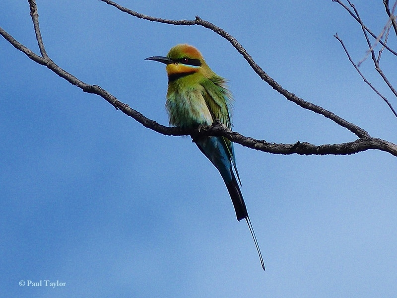 Rainbow Bee-eater svg #1, Download drawings
