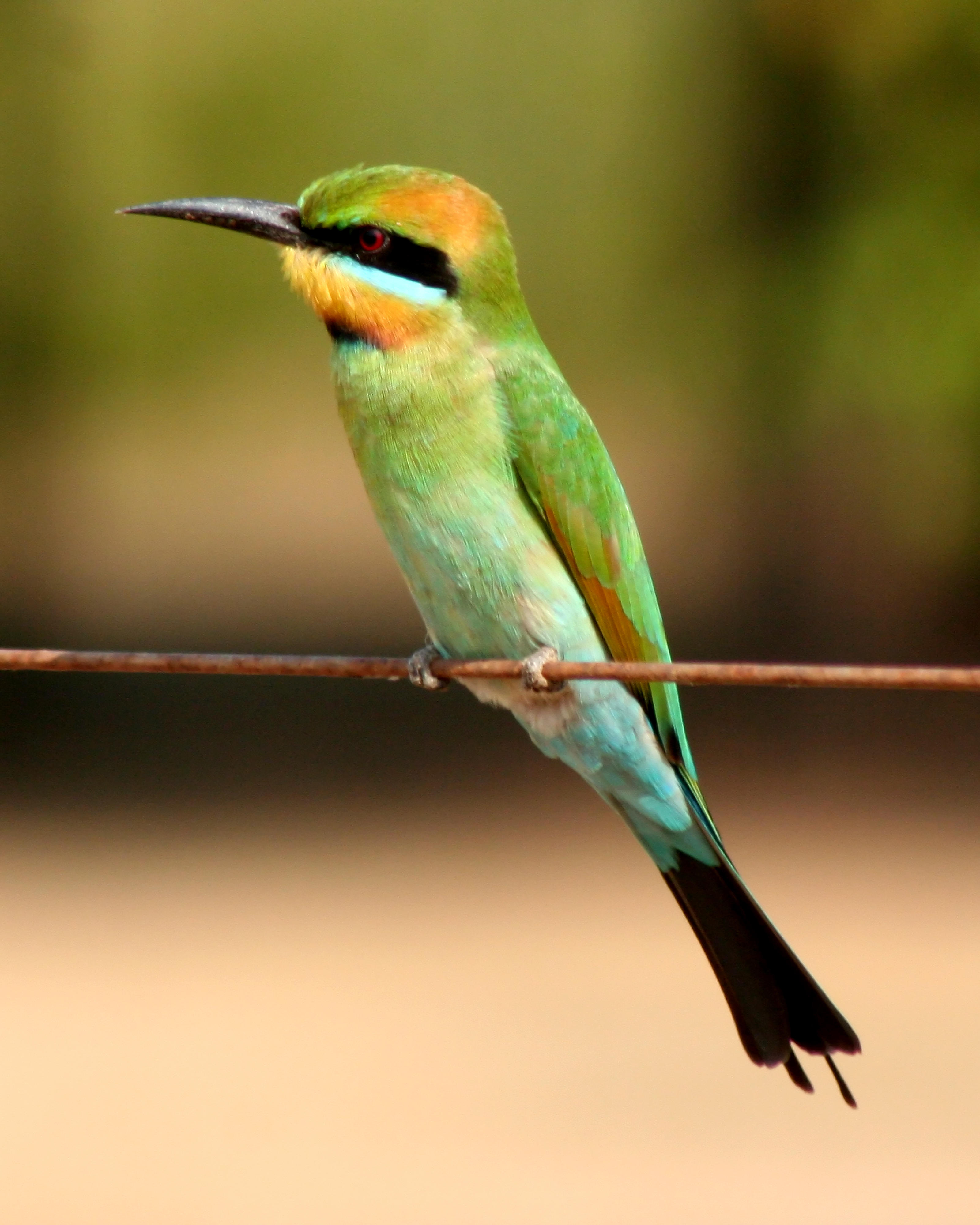 Rainbow Bee-eater svg #5, Download drawings