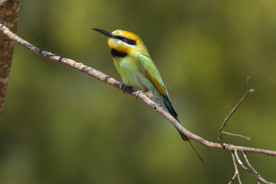 Rainbow Bee-eater svg #18, Download drawings