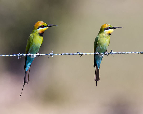 Rainbow Bee-eater svg #17, Download drawings