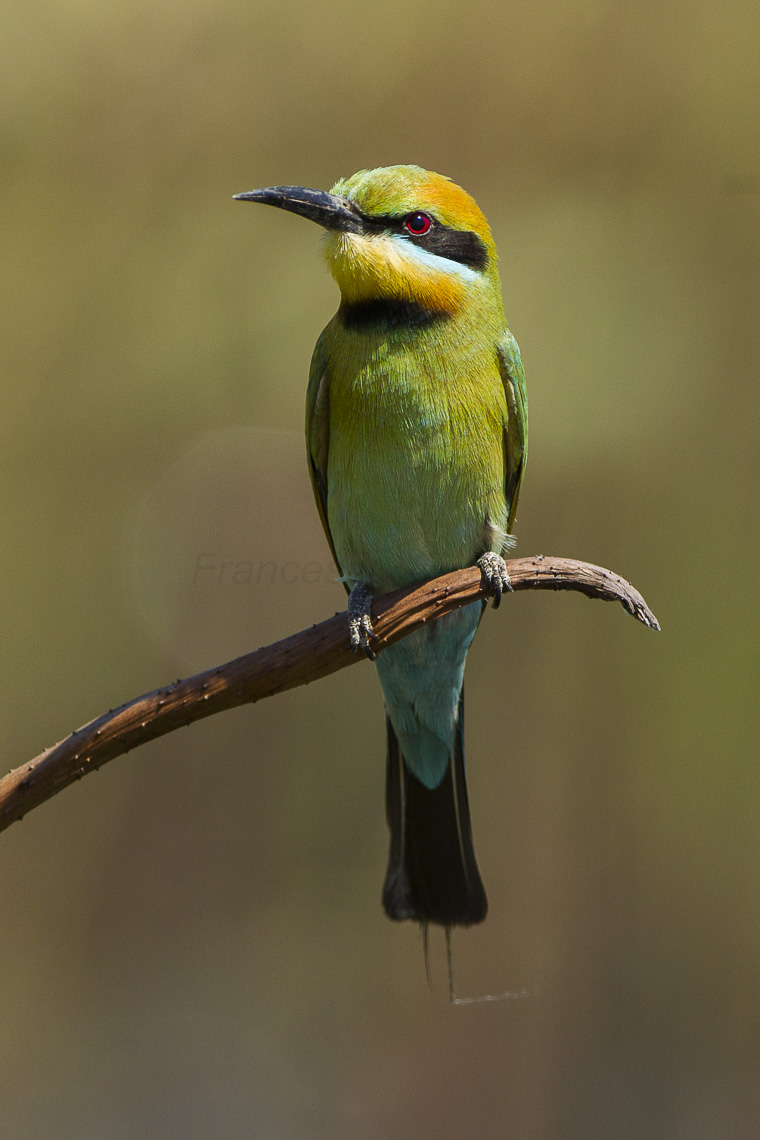 Rainbow Bee-eater svg #12, Download drawings